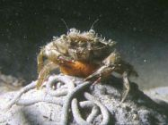 common shore crab atop a worm cast